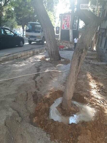 BŞİH-dən dibi betonlanmış ağaclarla bağlı AÇIQLAMA - FOTO, fotoşəkil-4