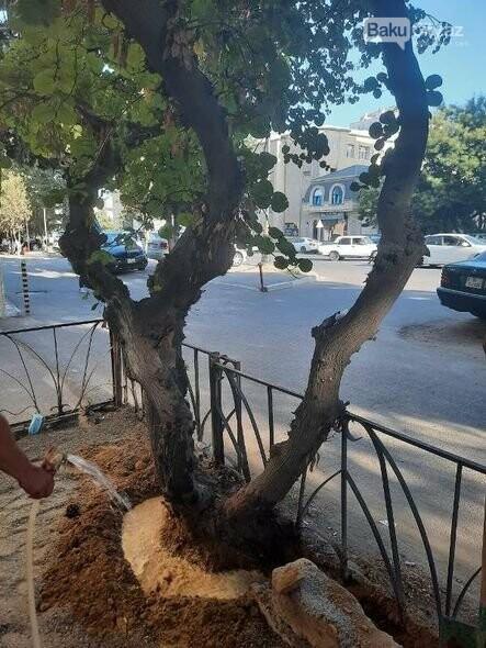 BŞİH-dən dibi betonlanmış ağaclarla bağlı AÇIQLAMA - FOTO, fotoşəkil-3