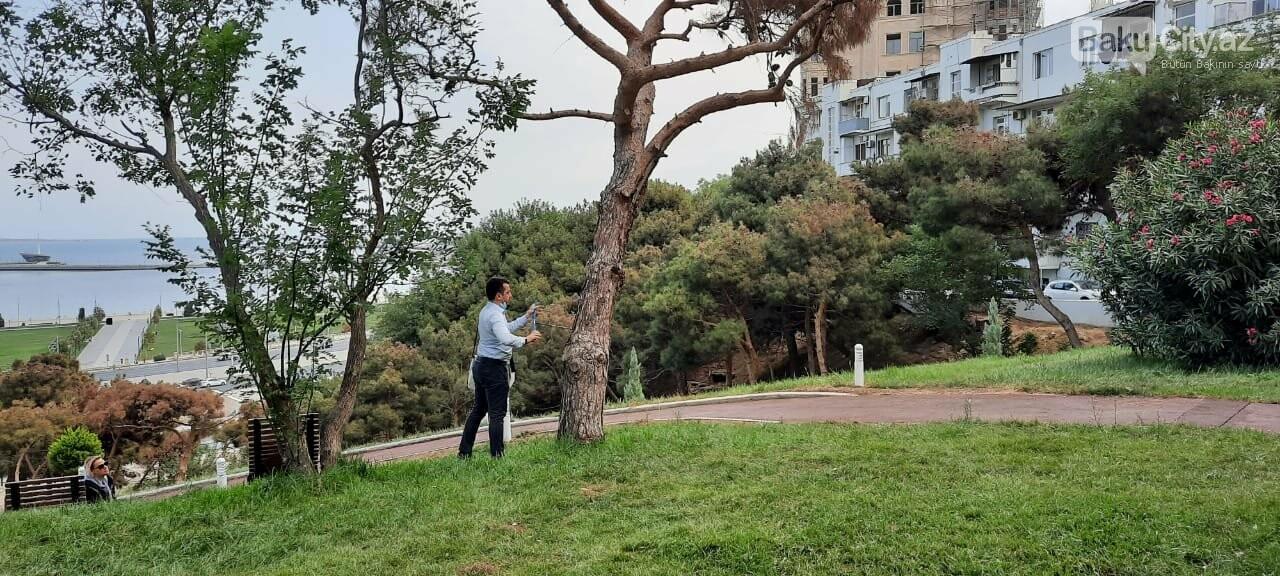 Bakıda ağaclar niyə quruyur? - MÜTƏXƏSSİS RƏYİ, fotoşəkil-2