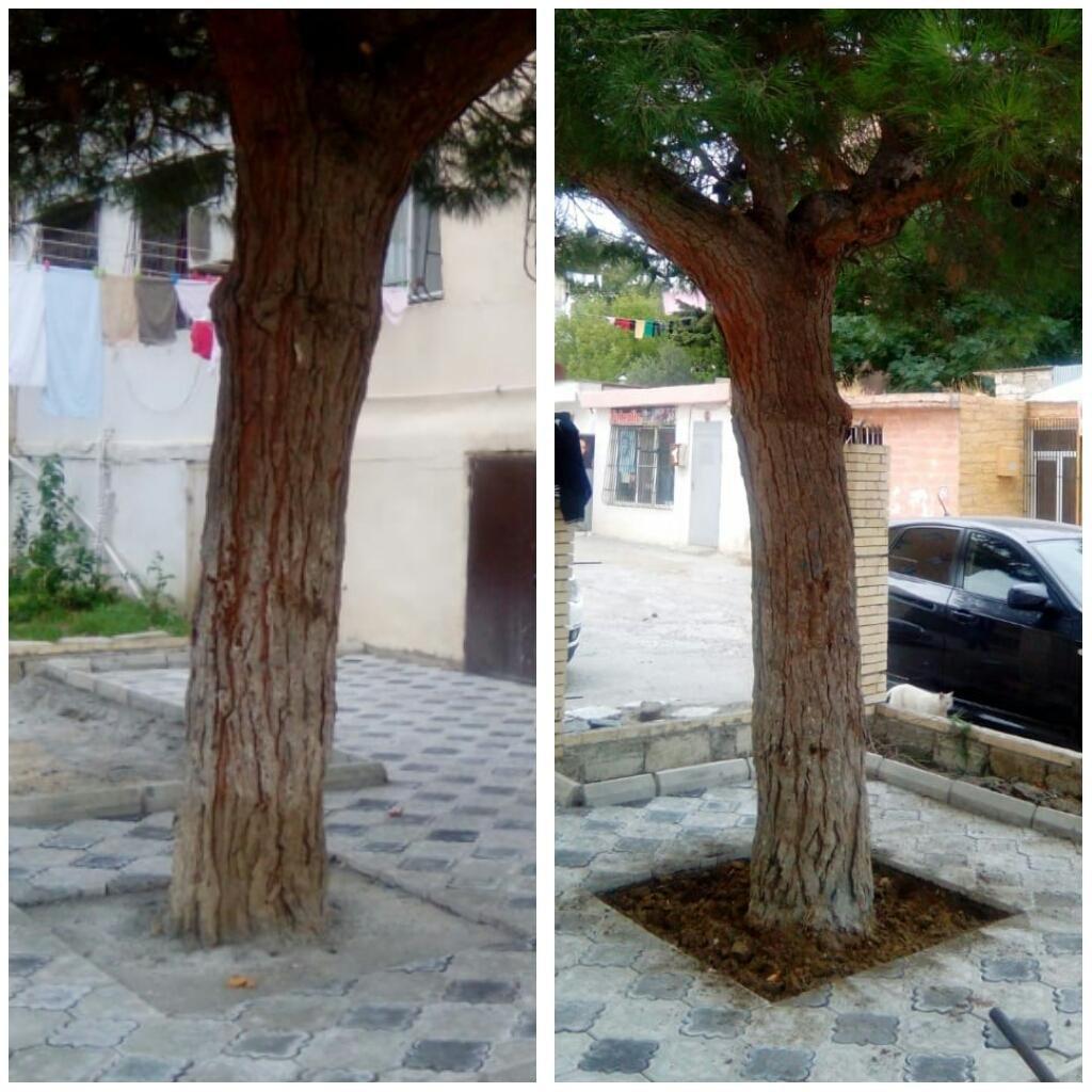 Bakıda insanlığa sığmayan hərəkət - Ağacın dibini betonladılar - FOTO, fotoşəkil-2