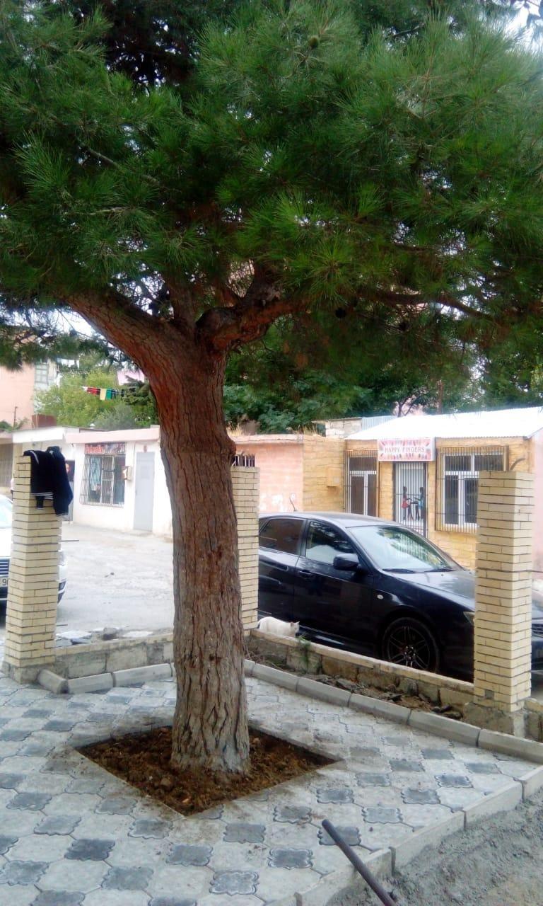 Bakıda insanlığa sığmayan hərəkət - Ağacın dibini betonladılar - FOTO, fotoşəkil-3